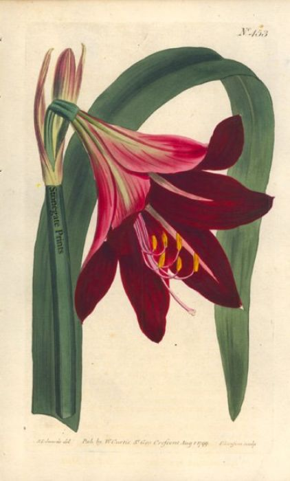 William Curtis Amaryllis Raginae