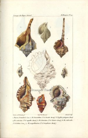 Baron Georges Cuvier Regne Animal, Mollusques 7219