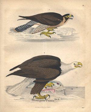 Birds of Prey 16828