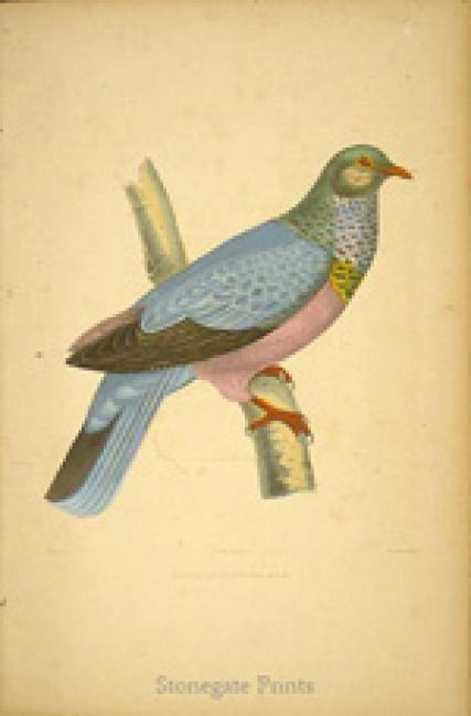 Charles Lucien Bonaparte Iconographie des Pigeons 9401