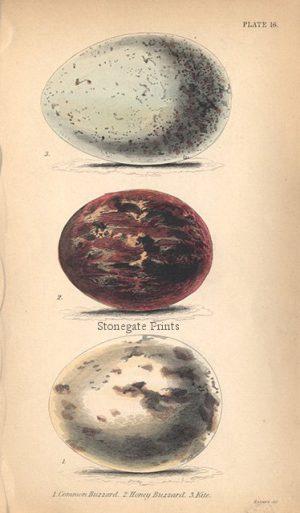 Common Buzzard Egg 19716