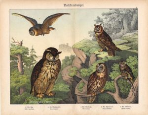 Great Owl, Horned Owl, Barn Owl