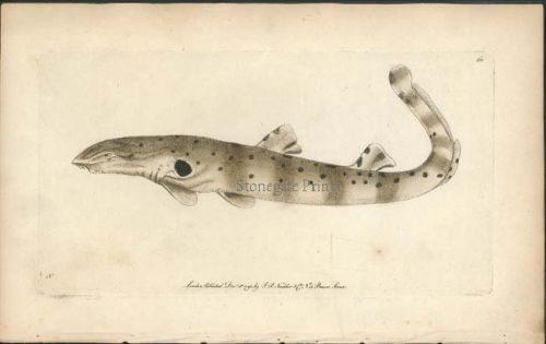 Ocellated Shark