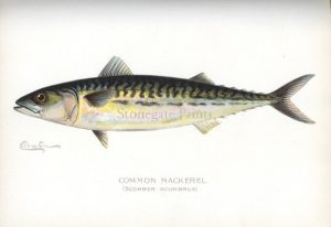 SF Denton Common Mackerel