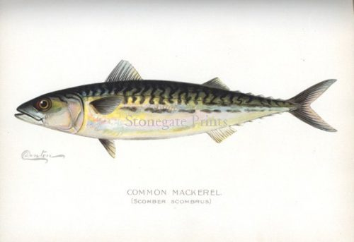 SF Denton Common Mackerel