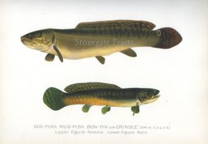 Dog Fish, Mud Fish, Bow Fin or Grindle