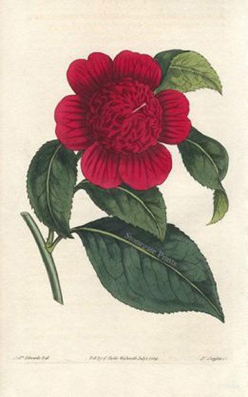 W. Curtis, Camelia Japonica