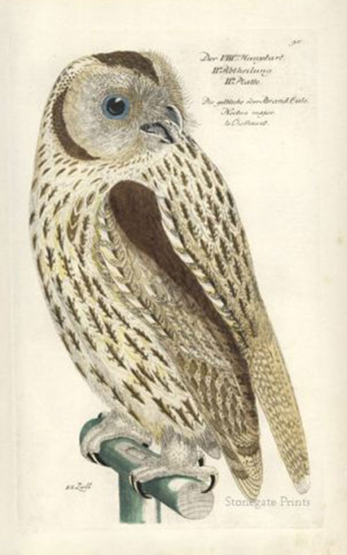 J. Frisch, Yellowish Owl