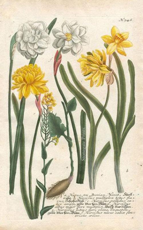 J. Weinmann, Narcissus