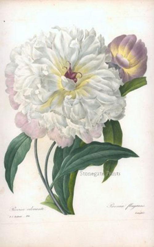 P.J. Redoute, Fragrant Peony