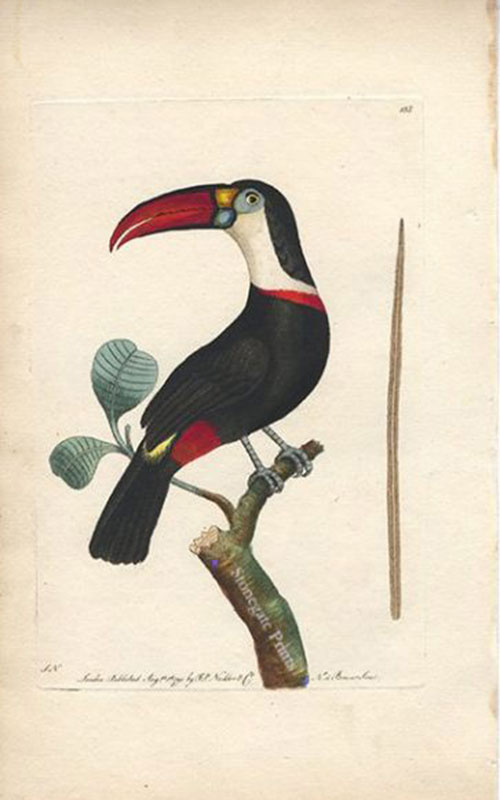 G. Shaw, Red Beaked Toucan