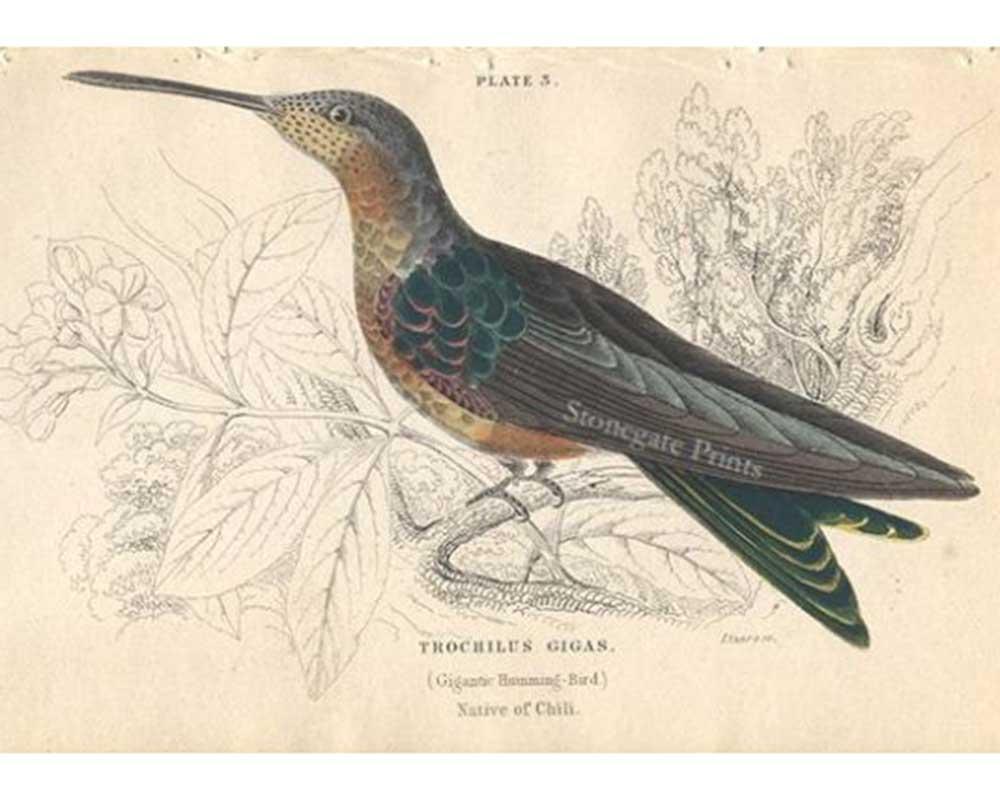 W. Jardine, Gigantic Hummingbird
