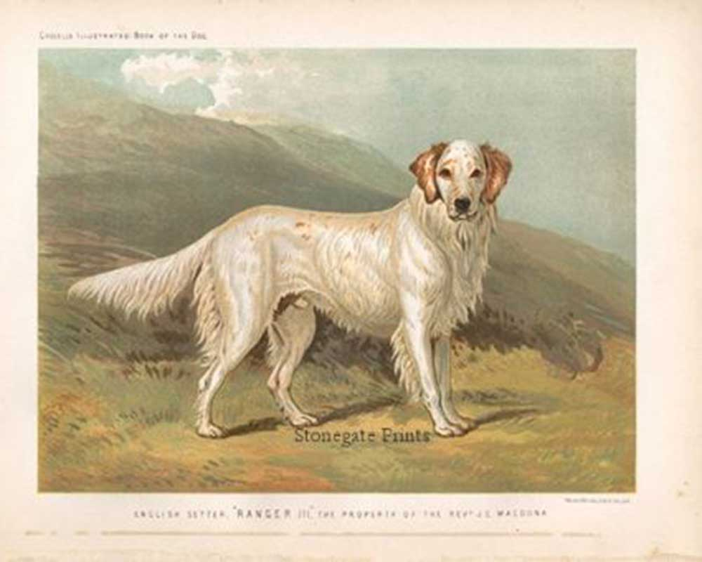 Vero Shaw, English Setter